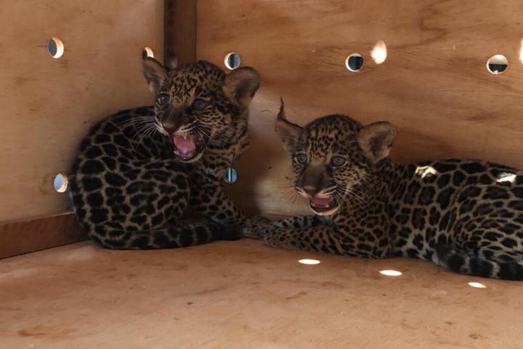 Sema de Sinop resgata dois filhotes de onças-pintadas encontrados em área rural particular